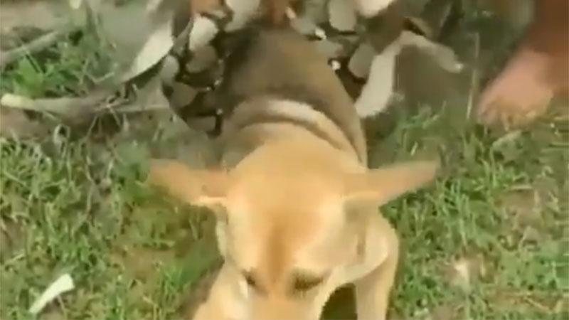 3 niños muy valientes evitaron que su perro fuera el desayuno de una serpiente gigante (Video)