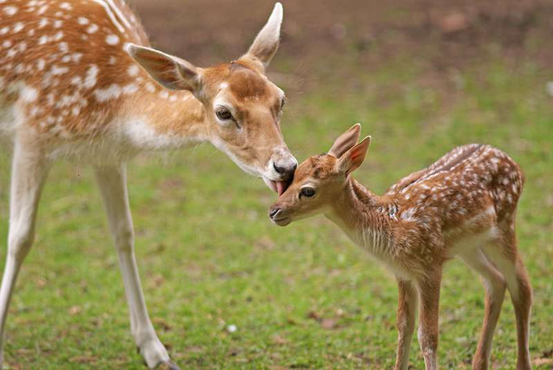 A Beautiful Little Deer With Rare Color Got A Second Chance At Love After Mother Deer Rejected Him