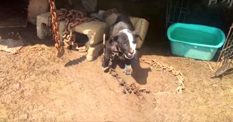 Cadelinha fofa foi presa por correntes mais pesadas do que ela, até o momento do seu emocionante resgate