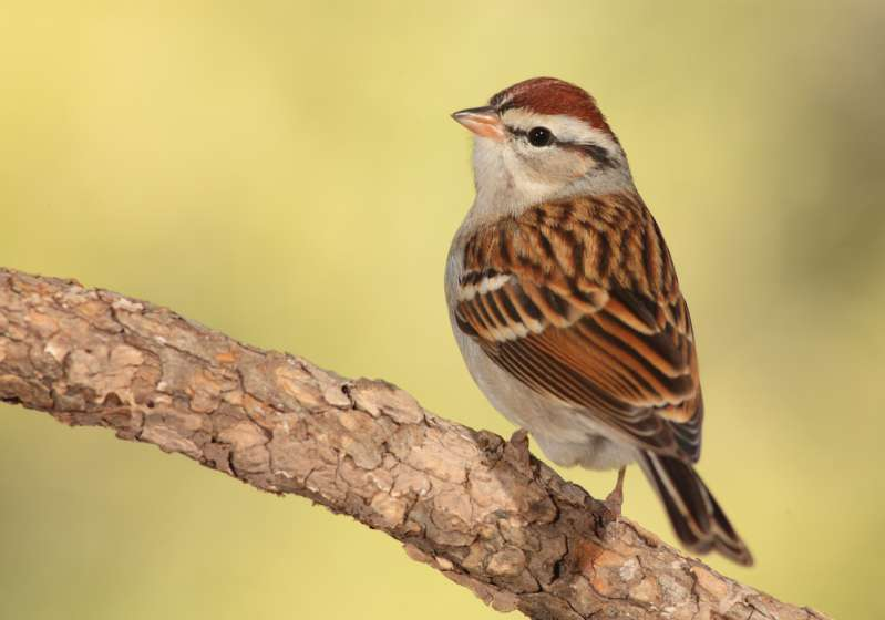 bird on wood, sparrow