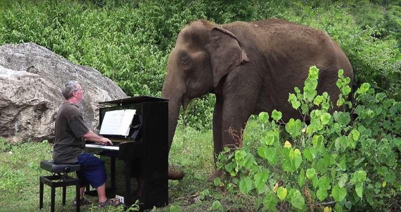 Che meraviglia: un pianista suona per un'elefantessa in difficoltà e l'animale piange
