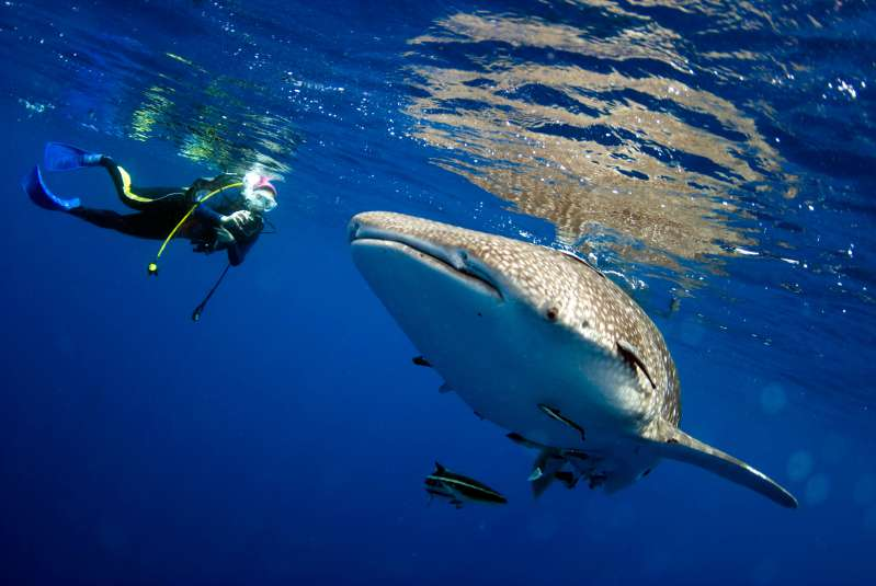 whale shark, diver