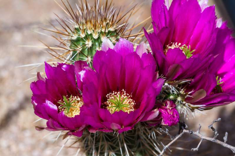 Rare Beauty! These Cacti Show Stunning Blossom That Appears OvernightRare Beauty! These Cacti Show Stunning Blossom That Appears Overnightcactus blooming