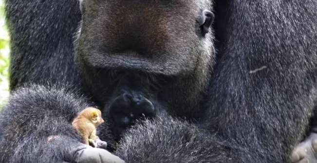 wildlife, gorilla and bushbaby amazing interaction