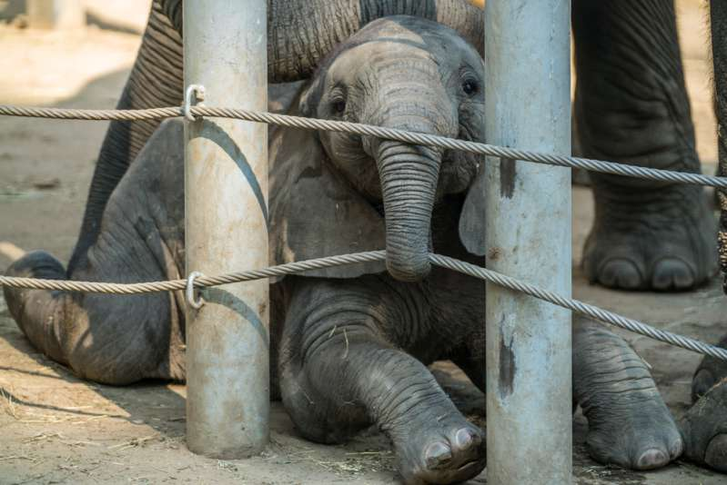 Saddening: Skinny Looking Baby Elephant Became A Laughing Stock As She Was Mistreated And Forced To Bang Her Head To Rave Music Because Of Animal Tourism-