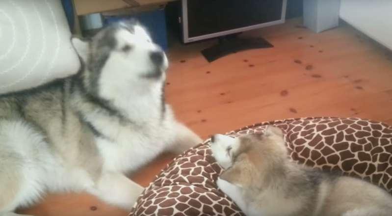 Relation forte entre un frère et une sœur : un Malamute d'Alaska enseigne à sa petite sœur comment hurler