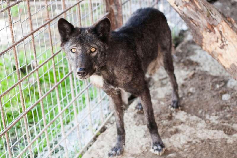 Современный зоопарк: обратная сторона жизни животных, которую посетителям не показываютBlack wolf in the aviary