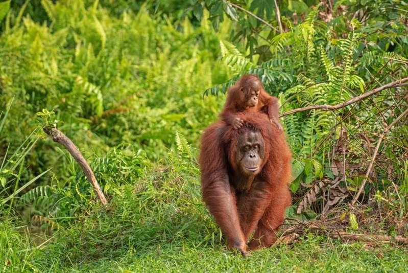 Herzzerreißende Aufnahmen: Orang-Utan greift Bulldozer an, um ihn daran zu hindern, sein Zuhause zu zerstören