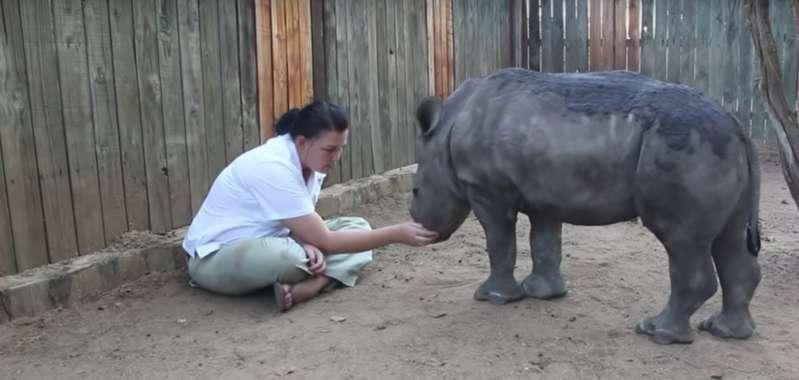 Une soignante câline un bébé rhinocéros traumatisé après avoir vu sa mère abattue par des braconniers