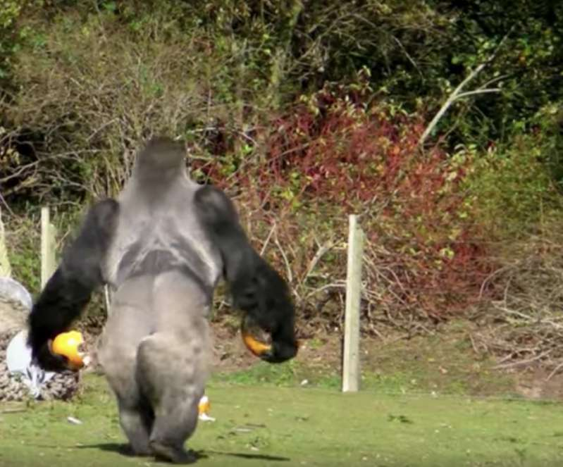 No One In The Corner Has Swagger Like This Creature! Gorilla Impresses With His New Skill: Walking Like A Human