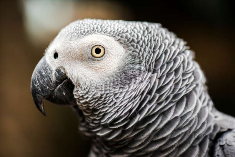 Malade, un inséparable a perdu toutes ses plumes, mais ses maîtres l'ont aidé à s'adapter à sa nouvelle vie