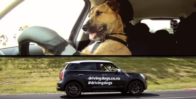Ternura y astucia en 4 patas: Porter es el primer perro del mundo en conducir un auto y en pasar la prueba de manejo