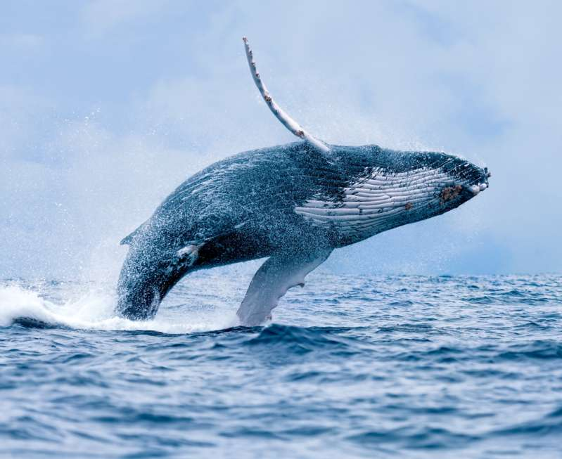 Aquatic Buddy: Whale Retrieves Woman's Phone That She Accidentally Dropped Into The Sea (Video)