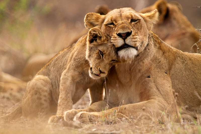 IVF Lion cubs delivered in South Africa, South African lions