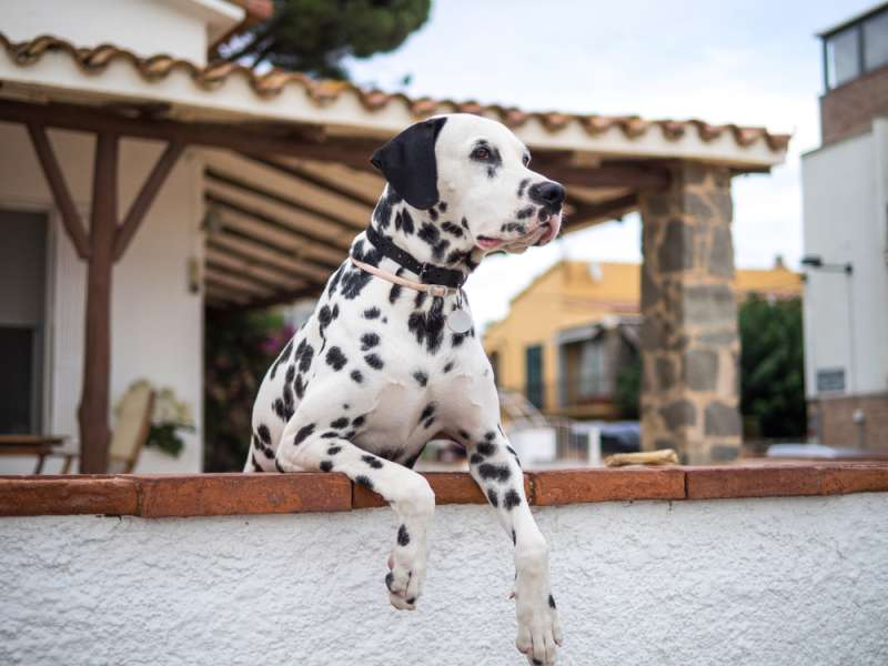 Cute Dalmatian Is Super Excited To Join Mom's Fitness Workout And Ends Up Being The Perfect PartnerCute Dalmatian Is Super Excited To Join Mom's Fitness Workout And Ends Up Being The Perfect PartnerCute Dalmatian Is Super Excited To Join Mom's Fitness Workout And Ends Up Being The Perfect Partner