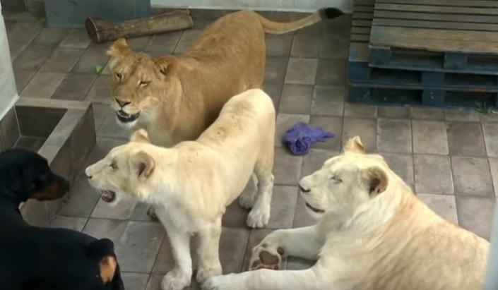 Vecinos aterrorizados, denunciaron a este hombre por tener tres leones encerrados en el techo de su casa