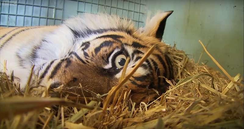 L'instinct maternel prend le dessus : une tigresse accouche d'un petit sans vie et fait tout pour le réanimertiger