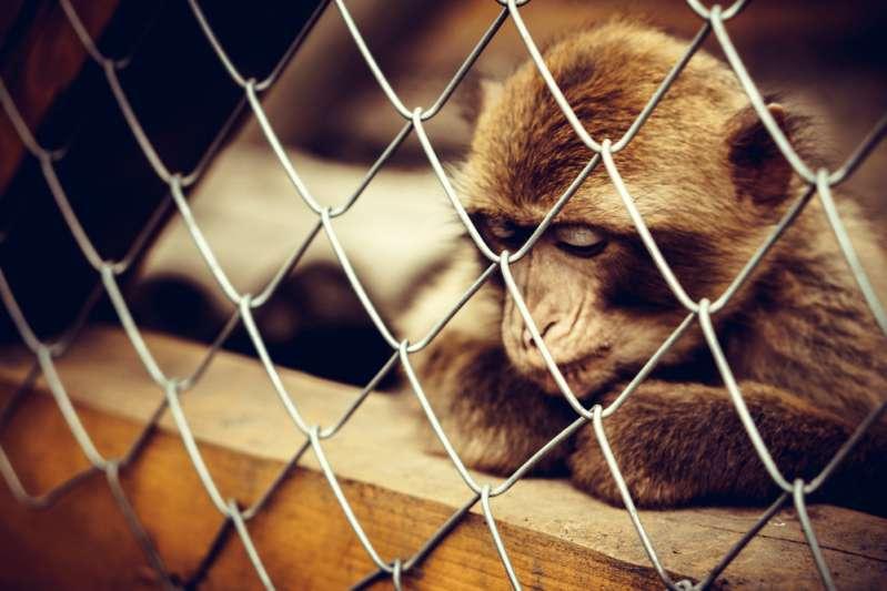 Conductor arriesgó su vida para salvar a un chimpancé de 60 kilos que se ahogaba en el zoológico