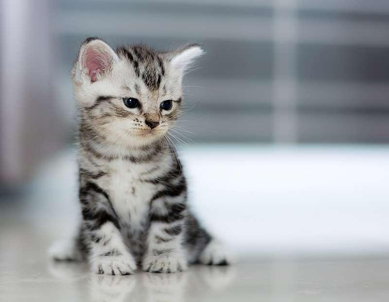 Adoptar a un gato antes de las 8 semanas no es la mejor de las ideas:  necesita ese tiempo con su mamá