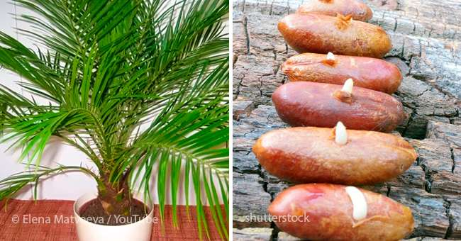 Date Palm From A Stone How To Grow An Exotic Plant At Home