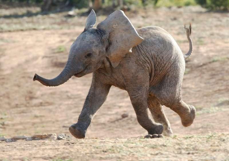 Per 5 interminabili ore, questo elefantino ha pianto senza sosta dopo essere stato rifiutato dalla madre