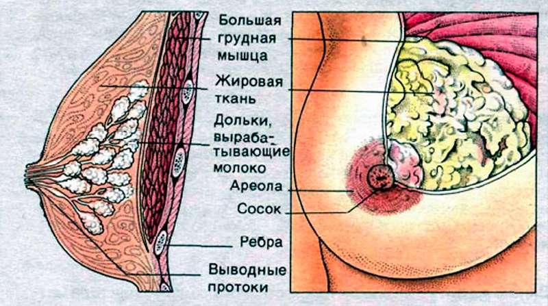 Сексуальная ареола