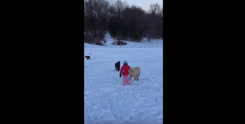 Grandma Can't Keep Her Laughter To Herself As She Videos Her Miniature Horses And Their Mischevious Plan