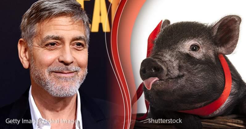 George Clooney Schwein