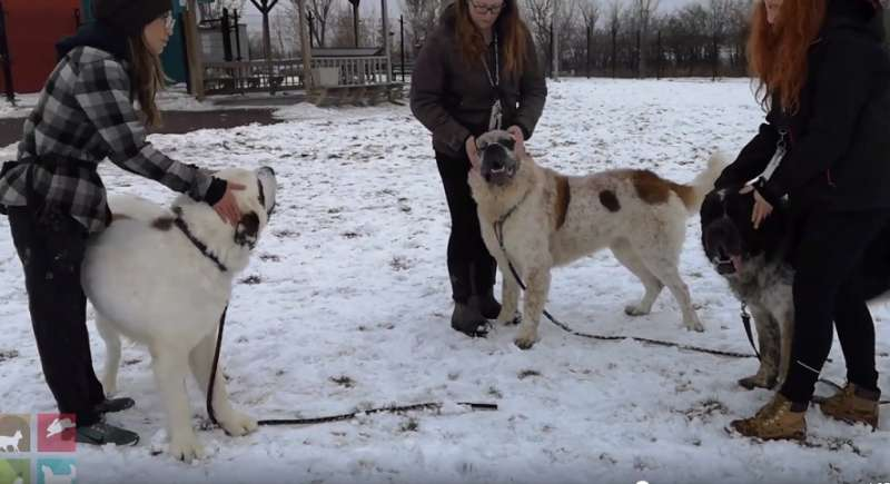 Three Saint Bernard Brothers Suffered From Being Apart, Then The Dogs Finally Find A Family Who Took Them All InThree Saint Bernard Brothers Suffered From Being Apart, Then The Dogs Finally Find A Family Who Took Them All In