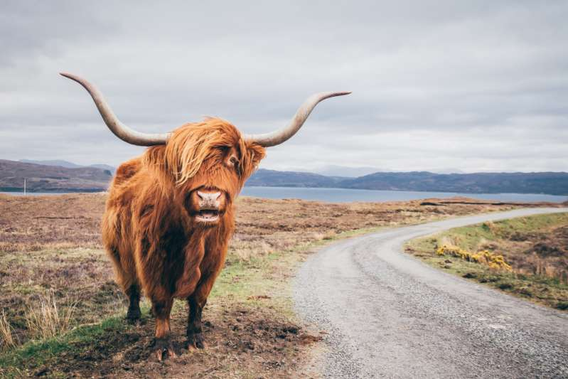 Meet The Cutest Highland Calf In The World: It Has Melted The Hearts Of Many On The Internet