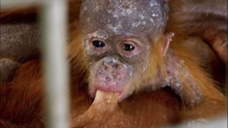 Heart Melting Moment As Momma Orangutan Is Reunited With Her Kidnapped BabyHeart Melting Moment As Momma Orangutan Is Reunited With Her Kidnapped BabyHeart Melting Moment As Momma Orangutan Is Reunited With Her Kidnapped BabyHeart Melting Moment As Momma Orangutan Is Reunited With Her Kidnapped BabyHeart Melting Moment As Momma Orangutan Is Reunited With Her Kidnapped Baby