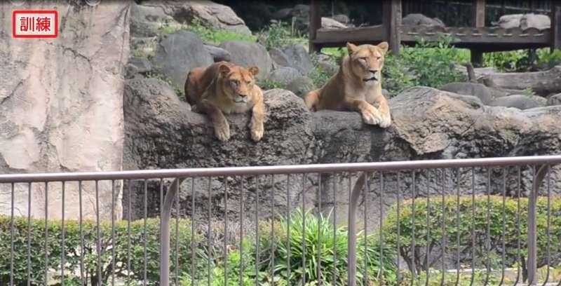 Un zoológico japonés llevó a cabo un simulacro de escape de leones y las imágenes recorrieron el mundoUn zoológico japonés llevó a cabo un simulacro de escape de leones y las imágenes recorrieron el mundoUn zoológico japonés llevó a cabo un simulacro de escape de leones y las imágenes recorrieron el mundo
