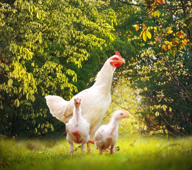 Это видео может растопить лед: любящая мама-курица укрывает от дождя своих цыплят