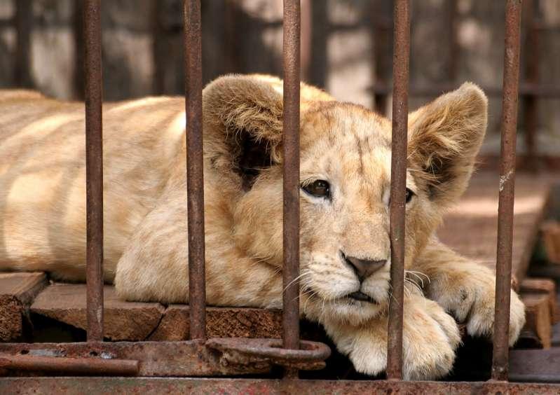 Современный зоопарк: обратная сторона жизни животных, которую посетителям не показываютCaged Lion