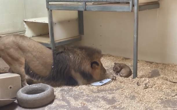 So Adorable! Daddy Lion Meets Tiny Baby Cub For First Time, And Their Sweet Encounter Is Carefully Captured By CameraSo Adorable! Daddy Lion Meets Tiny Baby Cub For First Time, And Their Sweet Encounter Is Carefully Captured By CameraSo Adorable! Daddy Lion Meets Tiny Baby Cub For First Time, And Their Sweet Encounter Is Carefully Captured By Camera