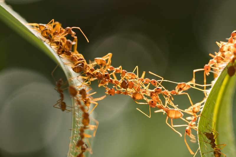 ces fourmis construisent un pont avec leurs propres corps pour d truire un nid de gu pes sur. Black Bedroom Furniture Sets. Home Design Ideas