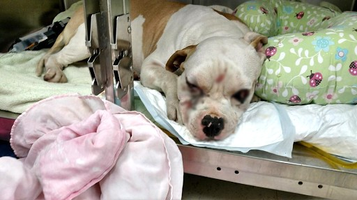 Heart-Wrenching! Blind Pitbull Who Had It Very Hard In Life Finally Finds Forever Home