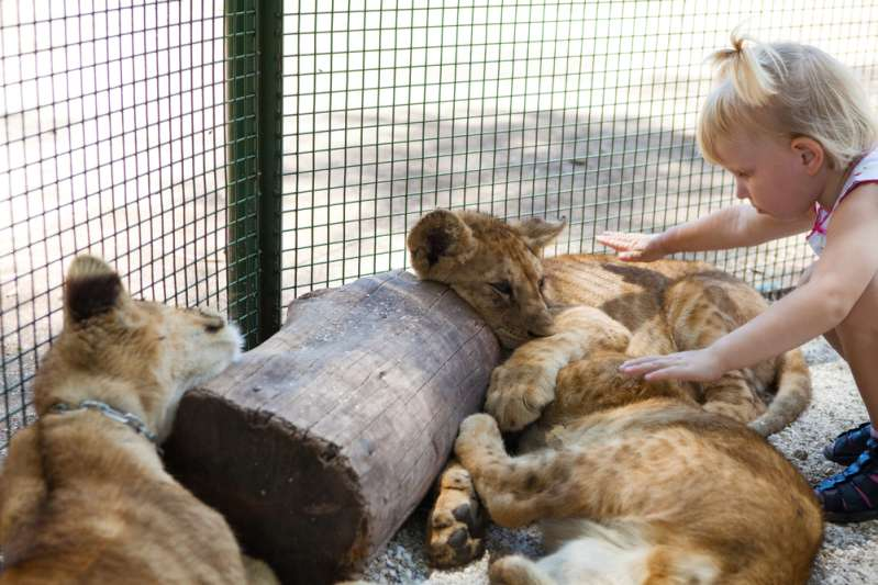 Löwe leidet an Hautkrebs und wird einer Strahlentherapie an einem privaten Krankenhaus in Südafrika unterzogen