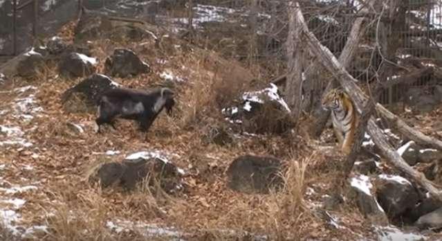 Un feroz tigre y una cabra, destinada a ser su cena, se terminaron convirtiendo en mejores amigos
