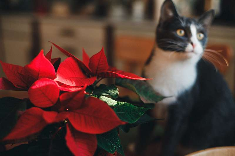 Which Holiday Plants Are Toxic To Cats And Dogs? 4 Plants To Keep Out Of Your Pet's ReachWhich Holiday Plants Are Toxic To Cats And Dogs? 4 Plants To Keep Out Of Your Pet's ReachWhich Holiday Plants Are Toxic To Cats And Dogs? 4 Plants To Keep Out Of Your Pet's ReachWhich Holiday Plants Are Toxic To Cats And Dogs? 4 Plants To Keep Out Of Your Pet's ReachWhich Holiday Plants Are Toxic To Cats And Dogs? 4 Plants To Keep Out Of Your Pet's ReachWhich Holiday Plants Are Toxic To Cats And Dogs? 4 Plants To Keep Out Of Your Pet's ReachWhich Holiday Plants Are Toxic To Cats And Dogs? 4 Plants To Keep Out Of Your Pet's Reach