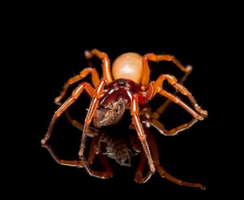 Invités dangereux : des araignées venimeuses dans les maisons. Il est possible de les détecter et ne pas être piqué