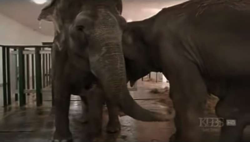 Two Circus Elephants Recognize Each Other When They Reunite After 22 Years Apart. Their Greeting Is Nothing Short Of Beautiful