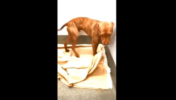 Herzzerreißend: Video eines Hundes im Tierheim, der sein Bett macht, verbreitet sich im Internet und zieht Adoptivfamilie an