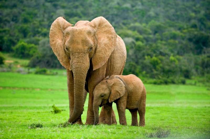 Ein dünn aussehendes Elefantenbaby wurde gezwungen, sich den Kopf im Takt der Musik anzuhauen-