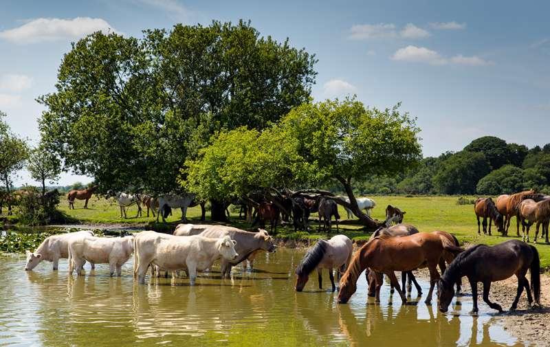 Esta vaca australiana mide casi 2 metros y es tan gigantesca que ahora cuida a otras vacas