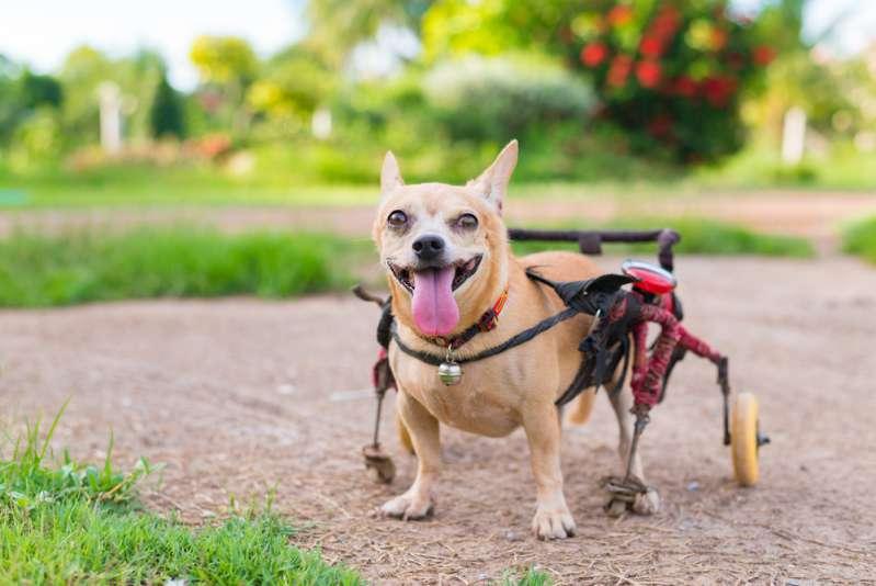 Handicapé, ne pouvant se nourrir, ce chien allait être euthanasié. Mais un vétérinaire tenace a pu le sauver !