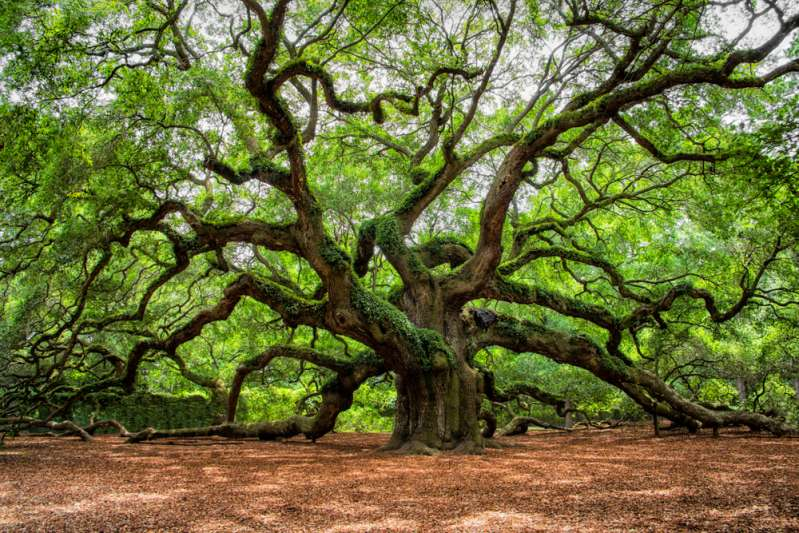 Trees Have Feelings And Take Care Of  Each Other, Just Like Families, Scientists Claimangel oak