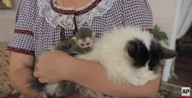 Kleiner Affe, der von der Mutter im Zoo verstoßen wurde, wird von der Katze aufgenommen