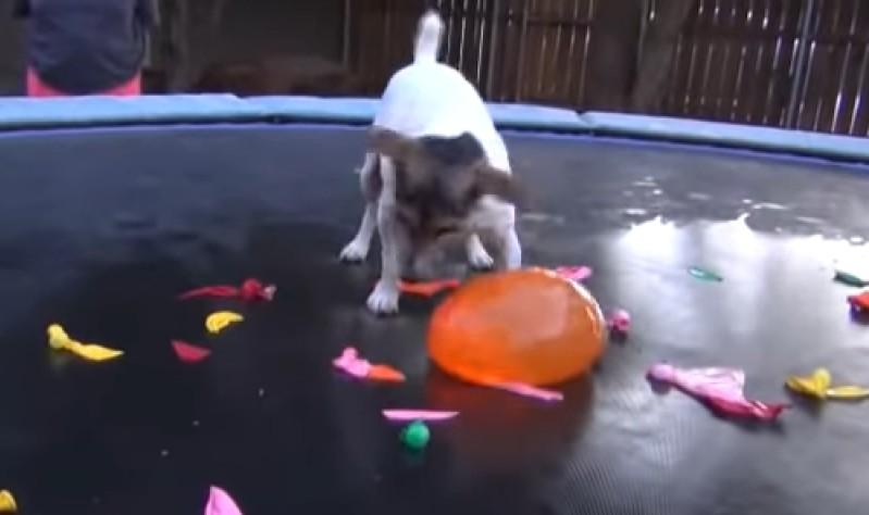 Dieser Hund Steigert Sich In Einen Rausch Hinein, Nachdem Eine Horde Ballons Sein Trampolin In Beschlag NimmtDieser Hund Steigert Sich In Einen Rausch Hinein, Nachdem Eine Horde Ballons Sein Trampolin In Beschlag Nimmt