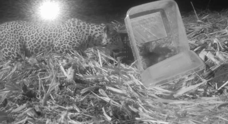 Heartwarming! A Distressed Leopard Mother And Her Cub Who Was Lost In A Sugarcane Farm Reunite Thanks To The Farmers And A Wildlife Rescue Team